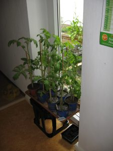Tomatoes want out